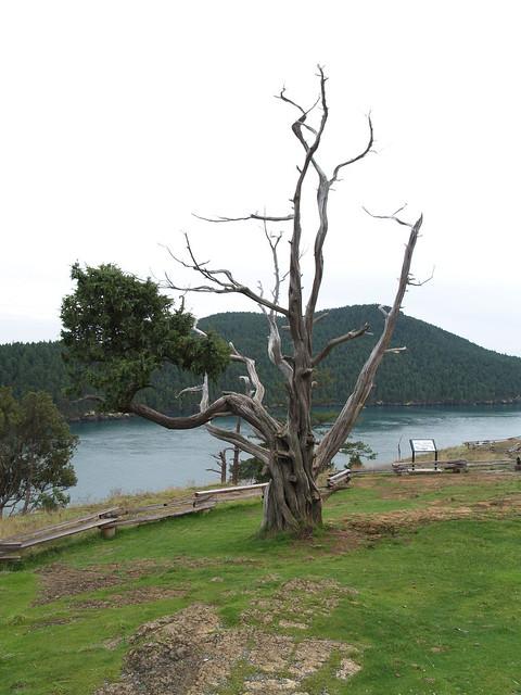Anacortes Tree