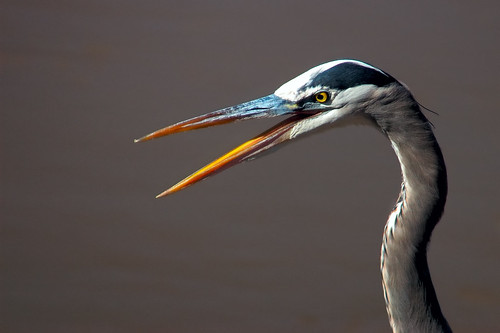 Great Blue Heron Gossip