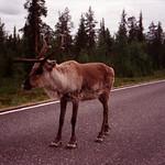 Reindeer - Lapland, Finland