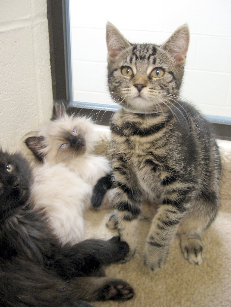 Tabby Half 'n Half, with Timmy 1 Eye & Sassy - 3 Kittens