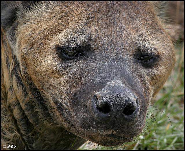 Hyena Mixed With Pitbull   www.imgkid.com - The Image Kid ...