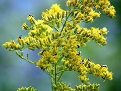 blossom(0.0), evergreen(0.0), shrub(0.0), tree(0.0), food(0.0), rapeseed(0.0), pollen(1.0), flower(1.0), branch(1.0), yellow(1.0), plant(1.0), macro photography(1.0), subshrub(1.0), herb(1.0), wildflower(1.0), flora(1.0), produce(1.0),