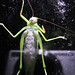 Katydid on porch door
