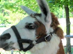 donkey(0.0), llama(0.0), goats(0.0), animal(1.0), mane(1.0), halter(1.0), pack animal(1.0), camel-like mammal(1.0),