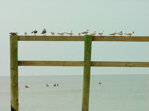 usa seagulls pelicans gulfofmexico birds florida posts capesanblas birdonapost stjosephstatepark