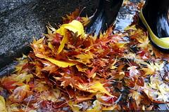 rain boots & autumn leaves    MG 4506