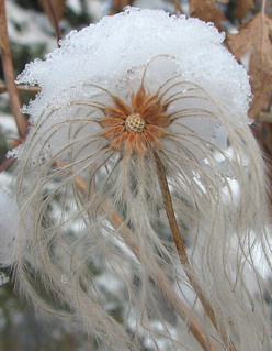 Snow-covered tresses