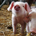 Piglets by Savetigers81