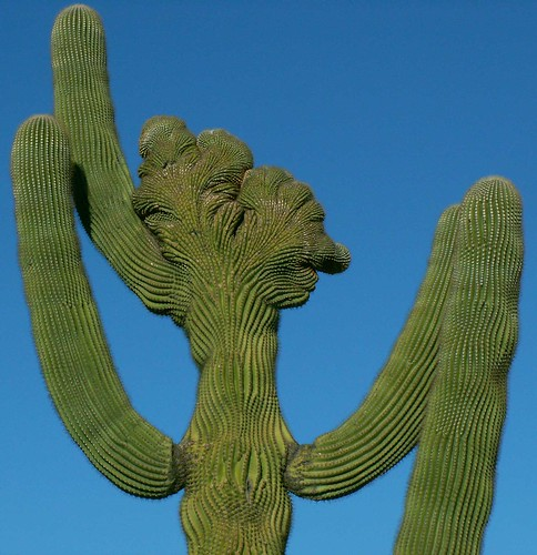 Large View of Unusual Saguaro Cactus