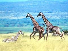 animal, giraffe, fauna, giraffidae, savanna, grassland, wildlife,