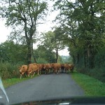 Warning cattle approaching!