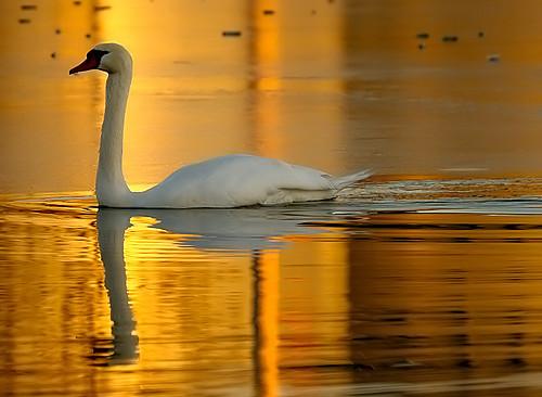 chris sunset bird birds southdakota swan bravo aves bailey relection muteswan chrisbailey specanimal animalkingdomelite chrisbaileyimages
