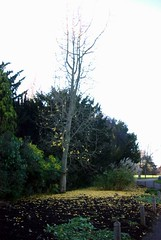 Ginkgo autumn