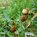 Liberty caps mushrooms identification by pablography