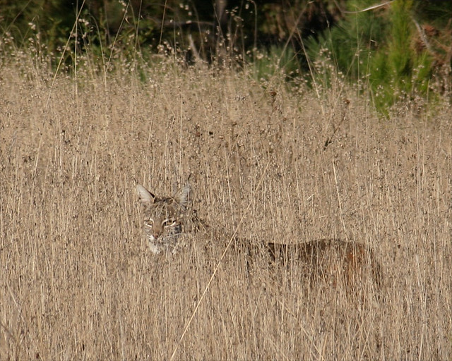 Bobcat at Point Lobos