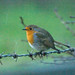 Robin Hunt 1 by Sara Richer