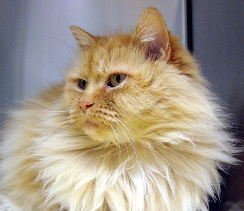Squishy Cat With Butter : Flickriver: Photoset  Buff, Cream, Creamsicle, Orange Tabby, Tan, Beige, Ginger Cats  by Pixel ...