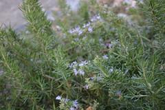hyssopus(0.0), shrub(0.0), english lavender(0.0), breckland thyme(0.0), lavender(0.0), flower(1.0), rosemary(1.0), summer savory(1.0), subshrub(1.0), wildflower(1.0), flora(1.0),