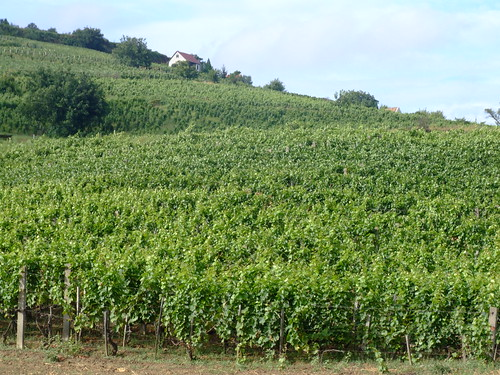 Wine vineyards in Tokaj, Hungary.