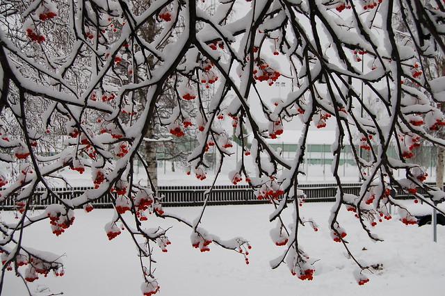 Rönnbär i snö