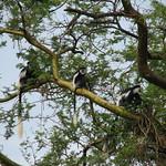 Black & White Colobus Monkeys
