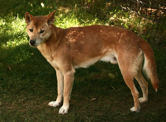 New Guinea Singing Dog Bark