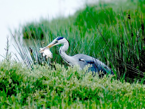 garza real con pescado en el pico - grey heron with fish in the pick