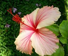 plant(0.0), malva(0.0), annual plant(1.0), shrub(1.0), flower(1.0), flora(1.0), chinese hibiscus(1.0), pink(1.0), petal(1.0),