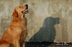 dog breed, animal, dog, mammal, golden retriever,