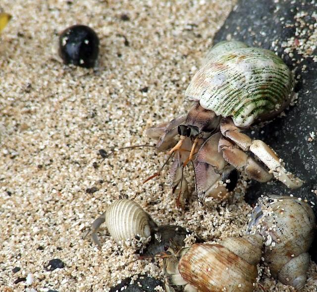 Hermit Crab @ Honeymoon Beach, Naviti, Fiji