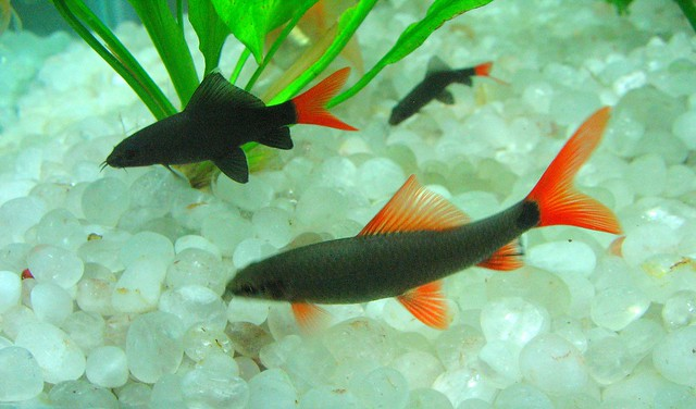 Rainbow shark red tail shark flickr photo sharing Freshwater fish with red fins