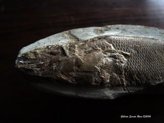 Fossil fish  / Peixe fóssil ..... DSCF3542a