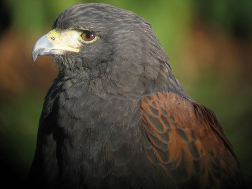 Harris Hawk (zoo)