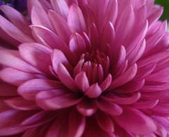 asterales, annual plant, dahlia, flower, purple, plant, chrysanths, pink, petal,