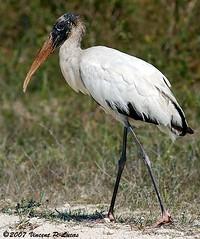 animal, fauna, ciconiiformes, white stork, heron, beak, ibis, bird, wildlife,