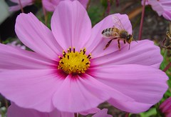 Bee on a Fall Flower, Cosmos