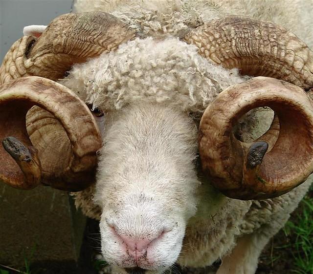 zamans six horns sheep