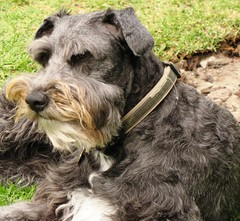 dog breed, animal, dog, schnoodle, pumi, pet, glen of imaal terrier, standard schnauzer, vulnerable native breeds, schnauzer, cesky terrier, catalan sheepdog, dandie dinmont terrier, lakeland terrier, cairn terrier, miniature schnauzer, carnivoran, terrier,