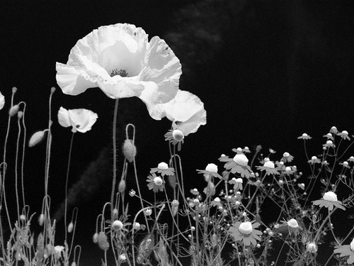 Poppies - Infrared