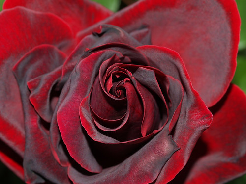Róża - Rose