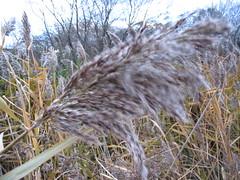 grass, phragmites, wildlife,