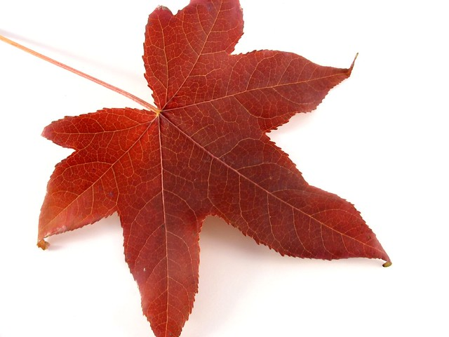 Japanese Maple Leaf 2 Flickr Photo Sharing
