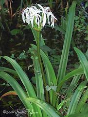 flower(1.0), hymenocallis littoralis(1.0), plant(1.0), flora(1.0), plant stem(1.0),