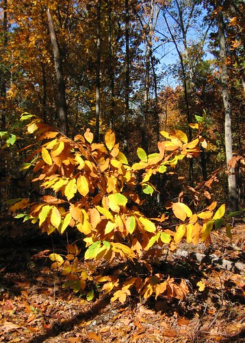 American chesnut (Castanea dentata), unblighted at this age