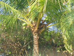 arecales, palm family, branch, tree, flora, produce, food, vegetation,