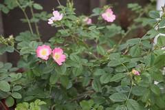 annual plant, shrub, flower, plant, rosa rubiginosa, rosa canina, wildflower, flora, rosa multiflora, rosa acicularis, rosa pimpinellifolia, rosa rugosa,