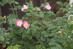 garden roses(0.0), annual plant(1.0), shrub(1.0), flower(1.0), plant(1.0), rosa rubiginosa(1.0), rosa canina(1.0), wildflower(1.0), flora(1.0), rosa multiflora(1.0), rosa acicularis(1.0), rosa pimpinellifolia(1.0), rosa rugosa(1.0),