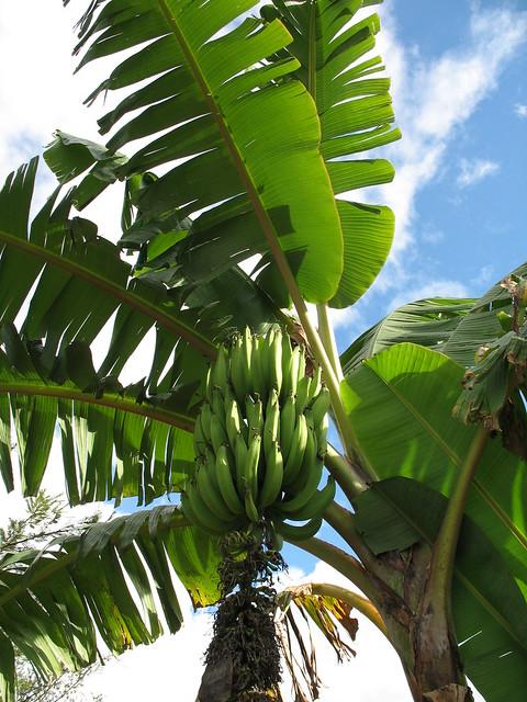 Small food garden - Plantain Tree Flickr Photo Sharing