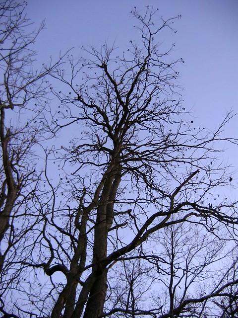 Kentucky coffeetree, Gymnocladus dioicus