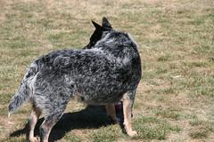 dog breed, animal, dog, australian stumpy tail cattle dog, mammal, vulnerable native breeds, australian cattle dog,